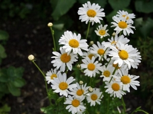 main_Ox-Eye Daisy_HS_Nov09_IMG_6157